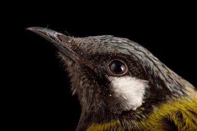 Picture of a white-eared honeyeater (Lichenostomus leucotis) at the Healesville Sanctuary.