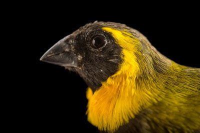 Picture of a Cuban grassquit (Tiaris canora) from a private collection.