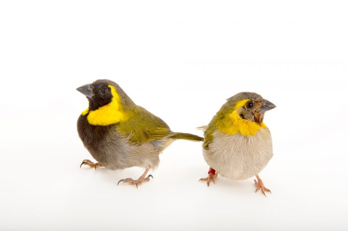 Picture of a male (black face) and female Cuban grassquit (Tiaris canora) from a private collection.