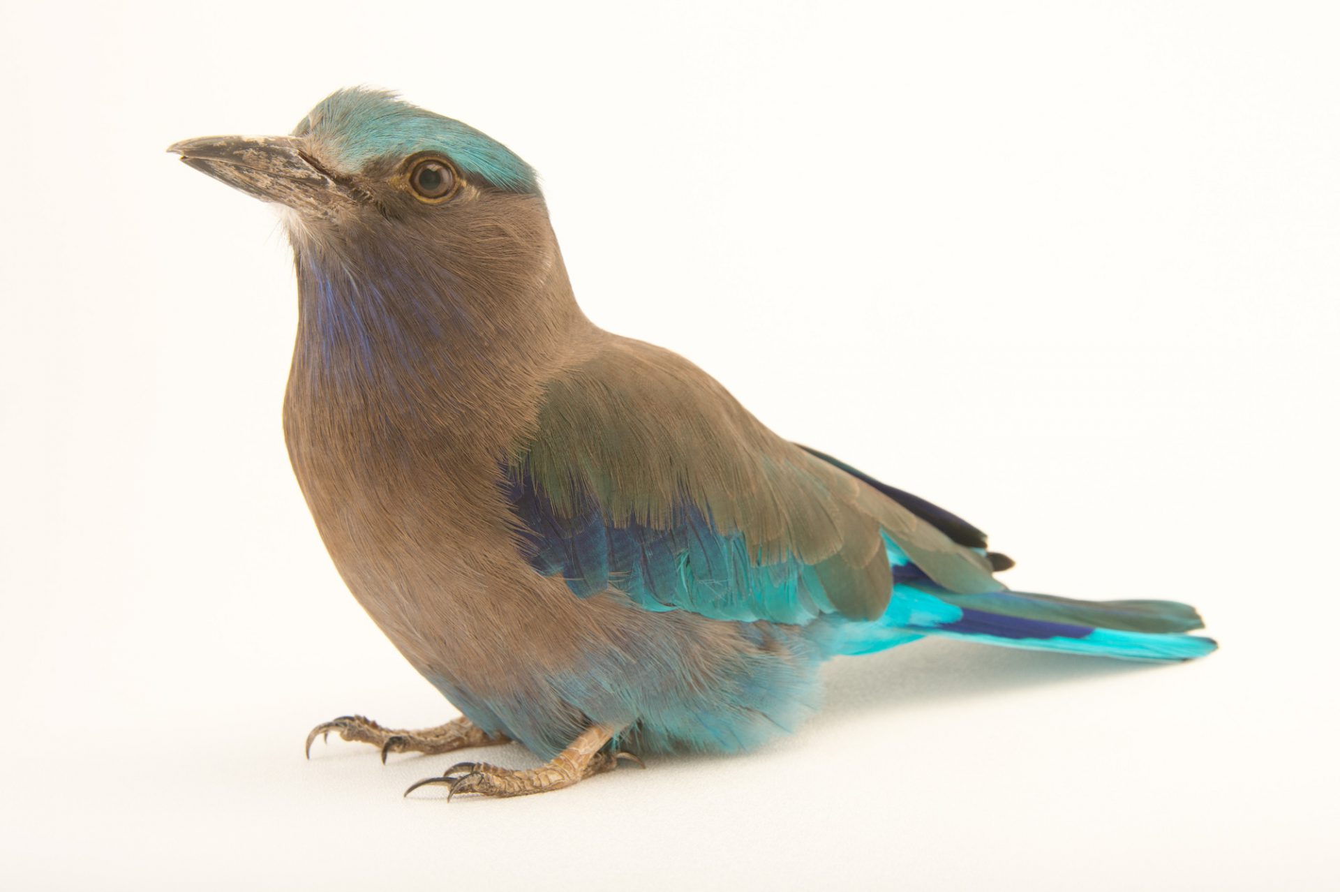 Photo: An Indian roller (Coracias benghalensis affinis) at the Santa Barbara Zoo.