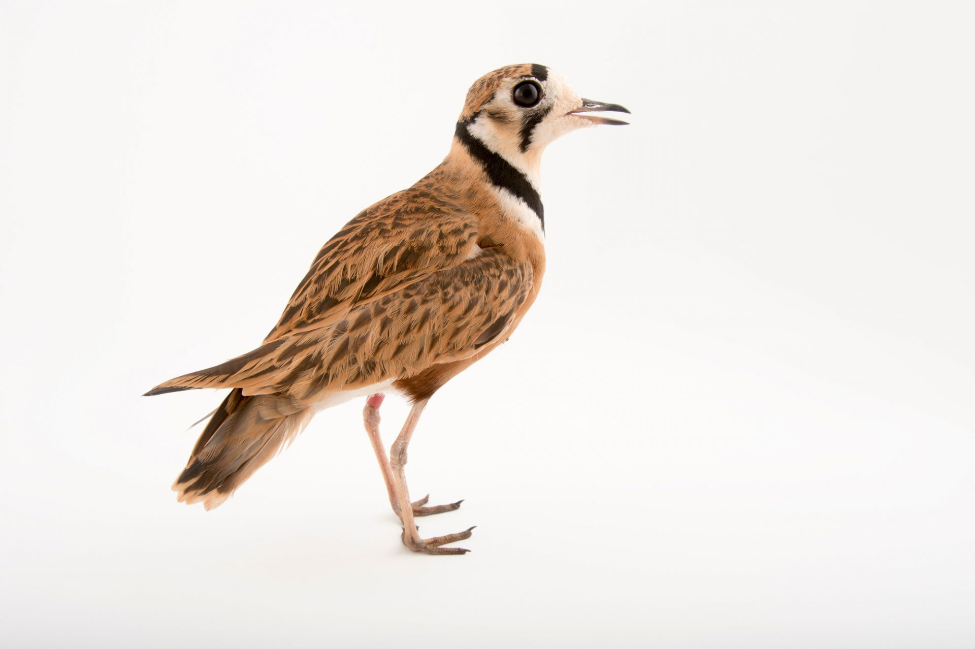 Picture of an inland dotterel (Peltohyas australis) at the Healesville Sanctuary.