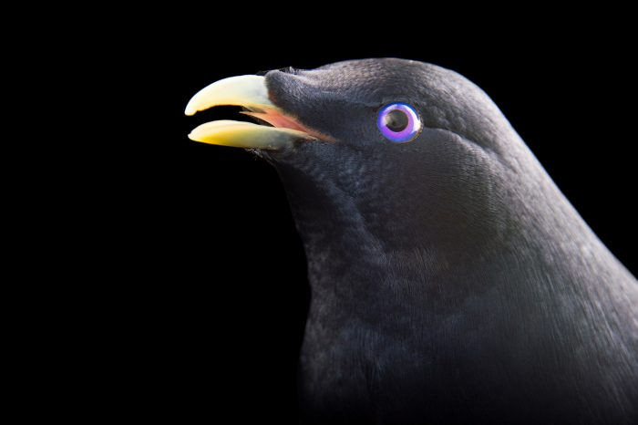 Picture of a satin bowerbird (Ptilonorhynchus violaceus) at Healesville Sanctuary.