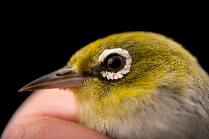 Picture of a silvereye or wax-eye (Zosterops lateralis) at Healesville Sanctuary.