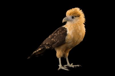 Photo: A yellow-headed caracara (Milvago chimachima) at the Summit Municipal Park in Gamboa, Panama.