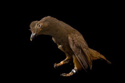 Picture of a Guianan cock-of-the-rock (Rupicola rupicola) at the Dallas World Aquarium.
