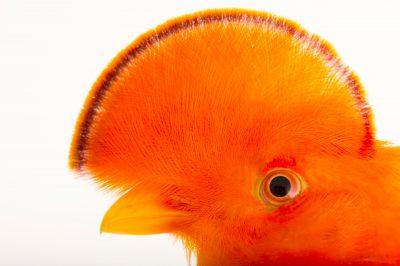 Picture of a male Guianan cock-of-the-rock (Rupicola rupicola) at the Dallas World Aquarium.