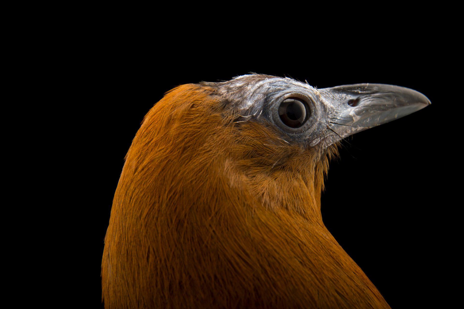 Picture of a capuchinbird (Perissocephalus tricolor) at the Dallas World Aquarium.