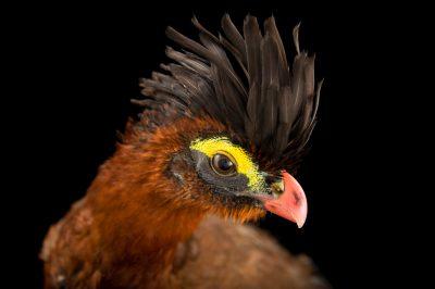 Picture of a nocturnal curassow (Nothocrax urumutum) at the Dallas World Aquarium.
