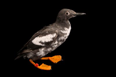 A pigeon guillemot (Cepphus columba columba) at the Alaska SeaLife Center.