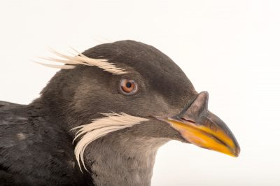 Photo: A rhinoceros auklet (Cerorhinca monocerata) at the Alaska SeaLife Center.