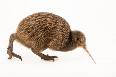 Picture of an endangered North Island brown kiwi (Apteryx mantelli) at the Kiwi Birdlife Park in Queenstown, NZ.