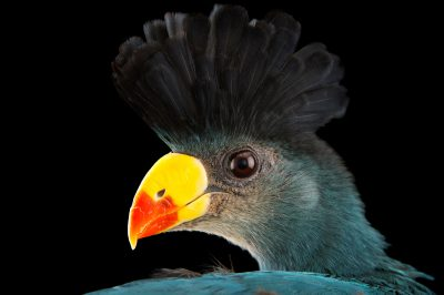 Picture of a great blue turaco (Corythaeola cristata) at the Sedgwick County Zoo.