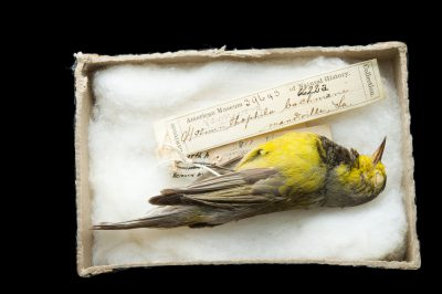 Picture of a possibly extinct Bachman's warbler (Vermivora bachmanii) at Tall Timbers Research Station and Land Conservancy.