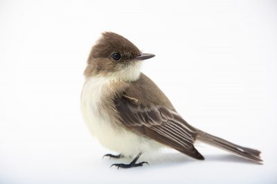 Picture of an Eastern Phoebe (Sayornis phoebe) at Tall Timbers Research Station and Land Conservancy.