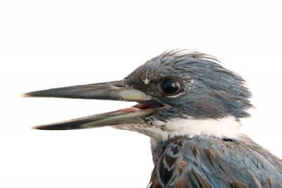 Photo: A ringed kingfisher (Megaceryle torquata) at the National Aviary of Colombia.