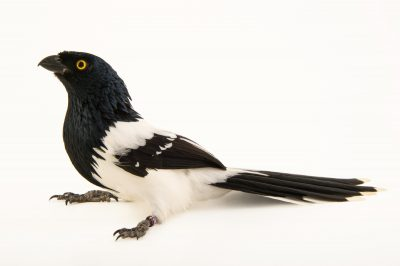 Photo: A magpie tanager (Cissopis leveriana) at the National Aviary of Colombia.