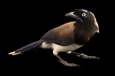 Photo: A black-chested jay (Cyanocorax affinis) at the National Aviary of Colombia.