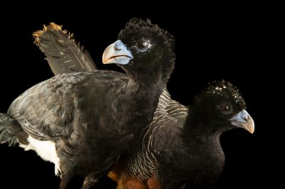 Critically endangered male and female blue-billed curassow (Crax alberti) at the National Aviary of Colombia.