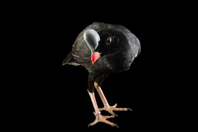 Picture of an endangered Northern helmeted curassow (Pauxi pauxi pauxi) at the National Aviary of Colombia.