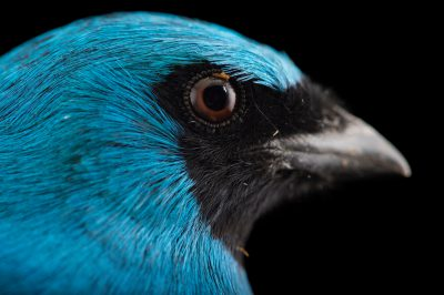 Picture of a male swallow tanager (Tersina viridis) at the Houston Zoo.