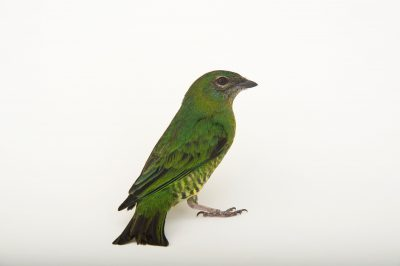 Picture of a female swallow tanager (Tersina viridis) at the Houston Zoo.