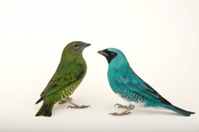 Picture of two swallow tanagers (Tersina viridis) at the Houston Zoo. The male is blue, the female green.