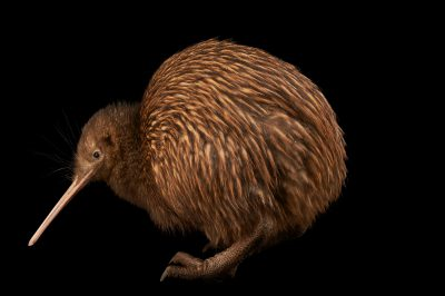 Picture of an endangered North Island brown kiwi (Apteryx mantelli) at the Kiwi Birdlife Park in Queenstown, New Zealand.