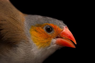 Picture of an orange-cheeked Waxbill (Estrilda melpoda) at Sylvan Heights Waterfowl Park.