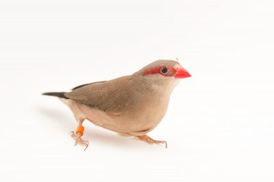 Picture of a black-rumped waxbill (Estrilda troglodytes) from Sylvan Heights Waterfowl Park.