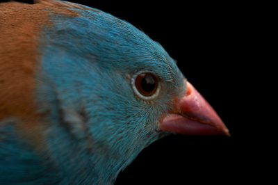 Picture of a blue-capped cordon-bleu (Uraeginthus cyanocephalus) at Sylvan Heights Waterfowl Park.