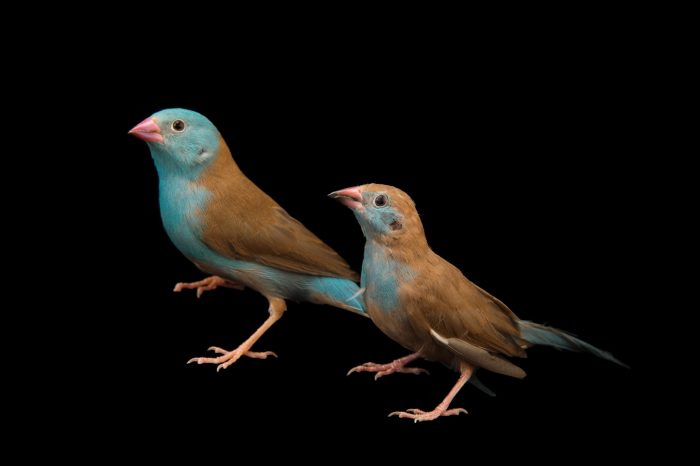 Picture of two blue-capped cordon-bleu (Uraeginthus cyanocephalus) at Sylvan Heights Waterfowl Park.
