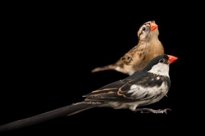 Picture of a male and female pin-tailed whydah (Vidua macroura) at Sylvan Heights Waterfowl Park.