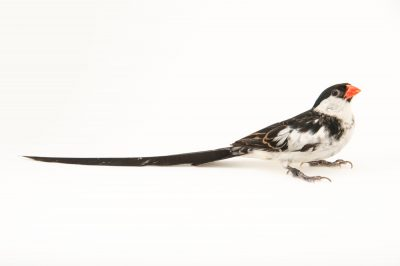 Picture of a male pin-tailed whydah (Vidua macroura) at Sylvan Heights Waterfowl Park.