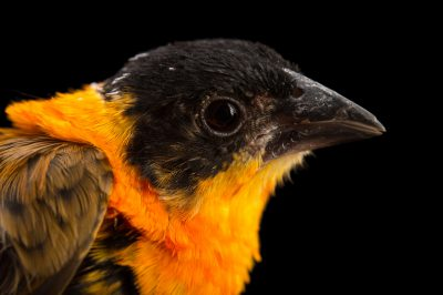 Picture of an orange bishop (Euplectes franciscanus) at Sylvan Heights Waterfowl Park.
