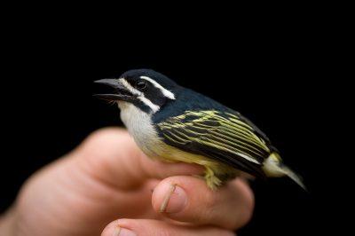 A golden-rumped tinkerbird (Pogoniulus bilineatus poensis) on Bioko Island, Equatorial Guinea