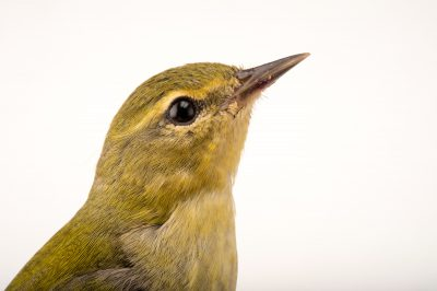 Photo: An orange-crowned warbler (Vermivora celata) being cared for by Nebraska Wildlife Rehab.
