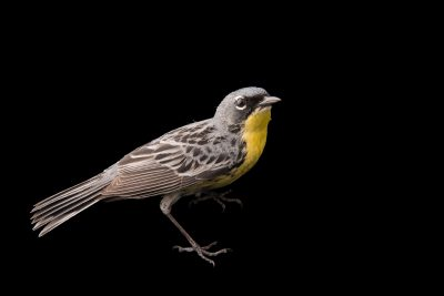 Photo: A Kirtland's warbler or Jack pine warbler (Setophaga kirtlandii) near Mio, Michigan.