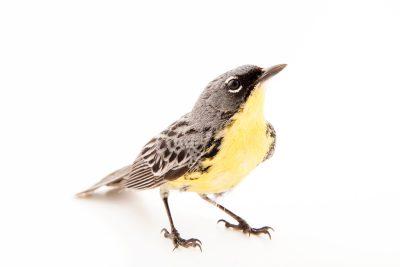 Photo: A Kirtland's warbler or Jack pine warbler (Setophaga kirtlandii) near Mio, Michigan.