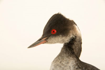 Eared grebe or black-necked grebe (Podiceps nigricollis) in winter plumage at International Bird Rescue Center.