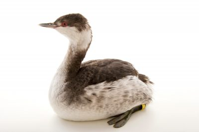 A vulnerable horned grebe (Podiceps auritus cornutus) in winter plumage at International Bird Rescue Center.