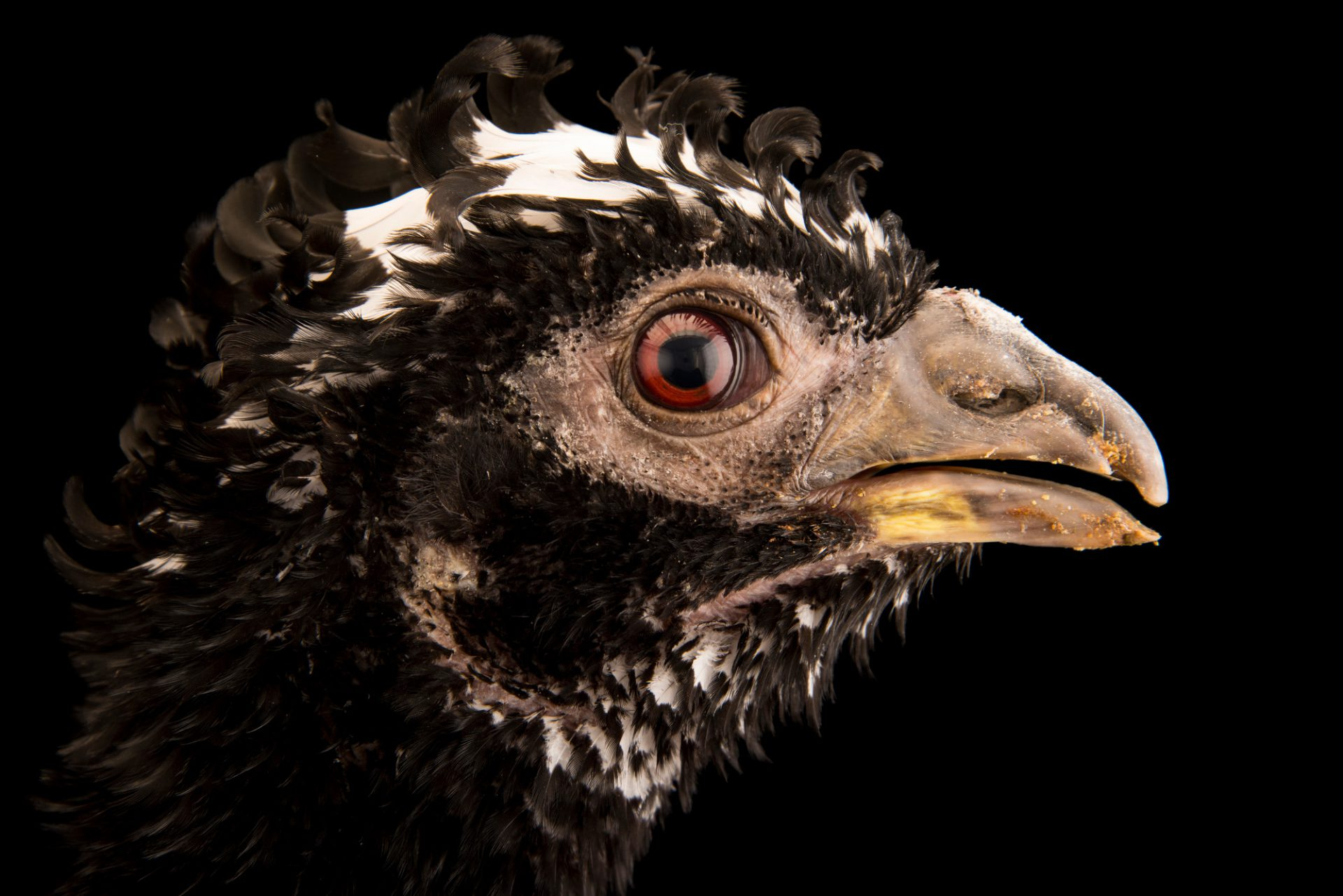 Photo: A vulnerable bare faced curassow (Crax fasciolata) at the Faunia zoo in Madrid, Spain.