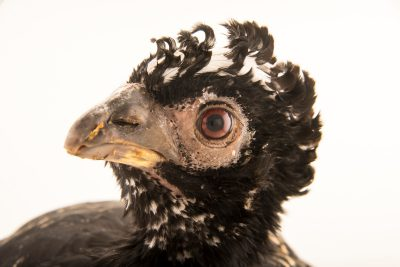 Photo: A vulnerable bare faced curassow, Crax fasciolata, at the Faunia zoo in Madrid, Spain.