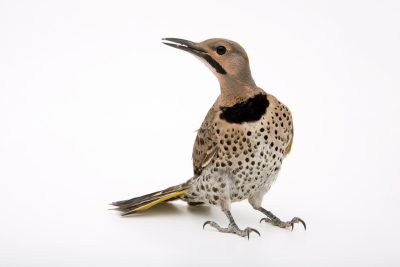 A yellow-shafted flicker (Colaptes auratus luteus) at Nebraska Wildlife Rehab, Inc.