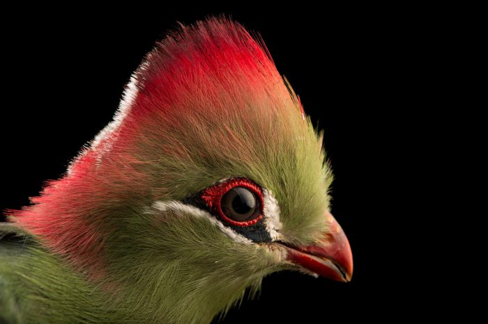 Picture of a Fischer's Turaco (Tauraco fischeri) at the Dallas World Aquarium.