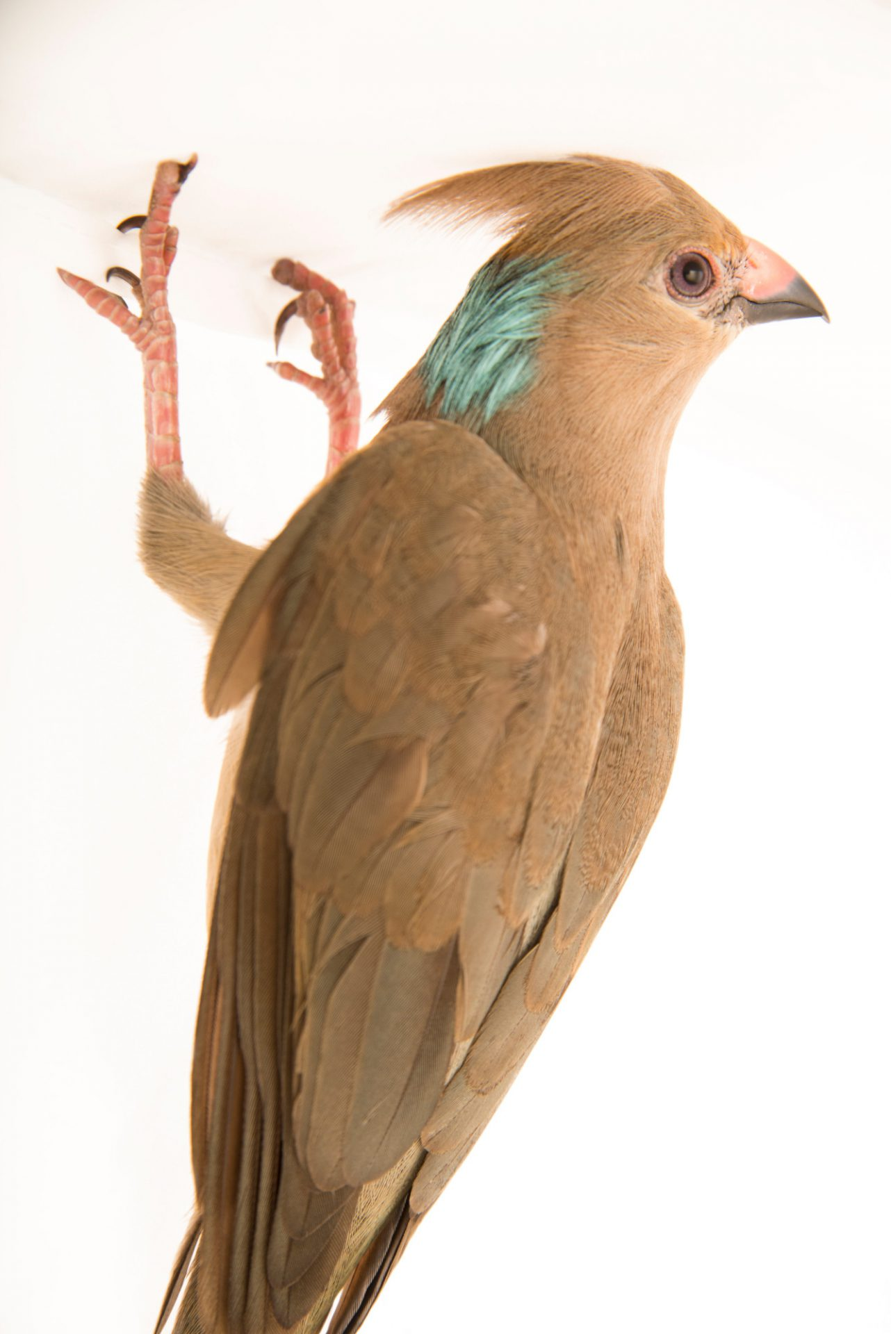 Picture of a blue naped mousebird (Urocolius macrourus) at the Jurong Bird Park.