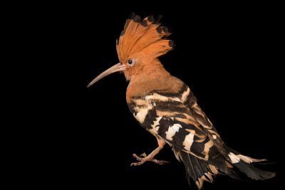 Photo: A common hoopoe (Upupa epops) at the Jurong Bird Park.