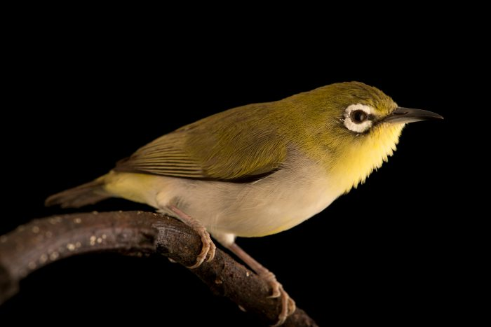 Photo: An Oriental white eye (Zosterops palpebrosus) at Jurong Bird Park.