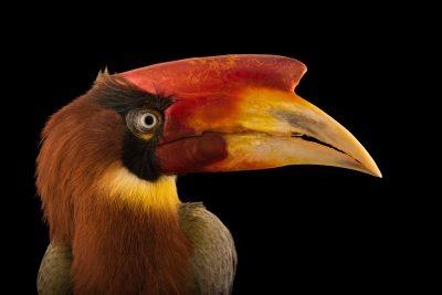 Photo: A Rufous hornbill (Buceros hydrocorax mindanensis) at Jurong Bird Park.