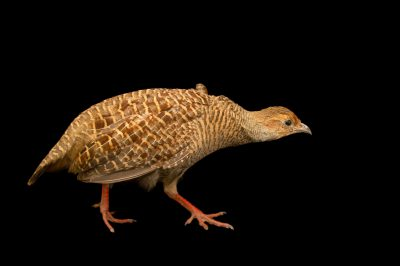 Photo: Grey francolin (Francolinus pondicerianus) at Kamla Nehru Zoological Garden, Ahmedabad, India.