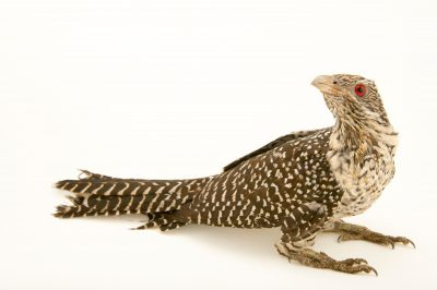 Photo: A female Asian koel (Eudynamys scolopaceus scolopaceus) at Kamla Nehru Zoological Garden, Ahmedabad, India.